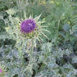 "Milk Thistle Flower is about half open. Notice the ""milky"" leaves."